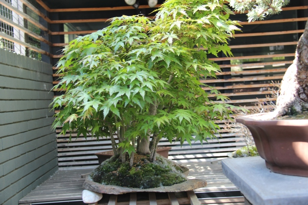Japanese Maple Bonsai Forest